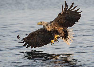 Sea-eagle-on-the-fjord-1030x773